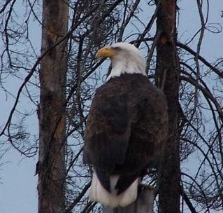 eagle_back