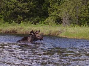 quetico_moose